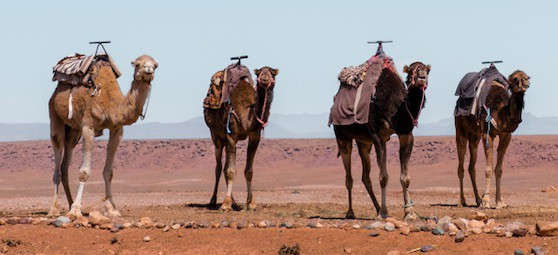 Four camels demonstrating their creativity in public relations.